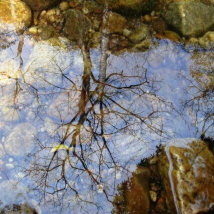 Image of a dry tree seen in water