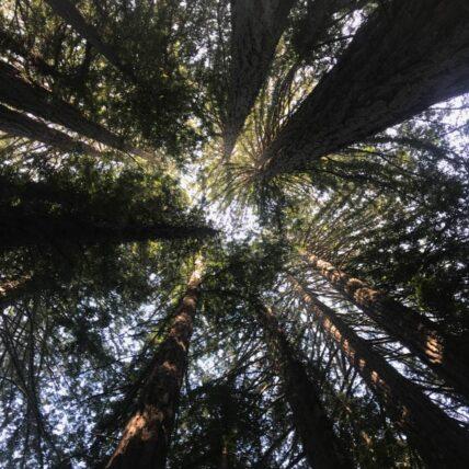 Photo of redwoods