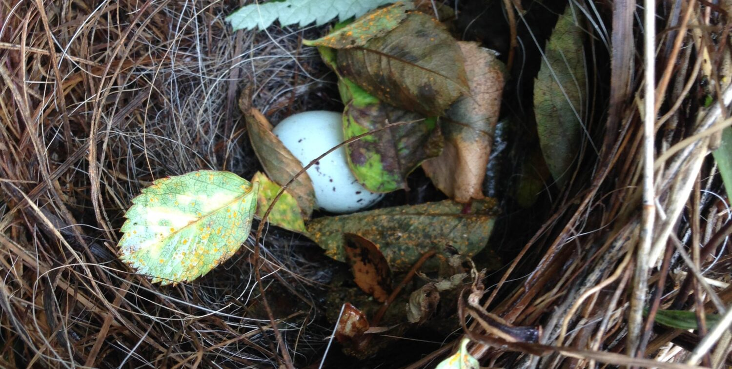 Photo of small blue egg in nest