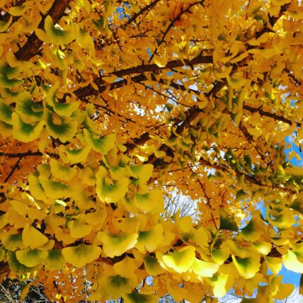 Photo of yellowing leaves on a tree