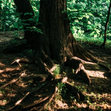 Tree roots in the shade