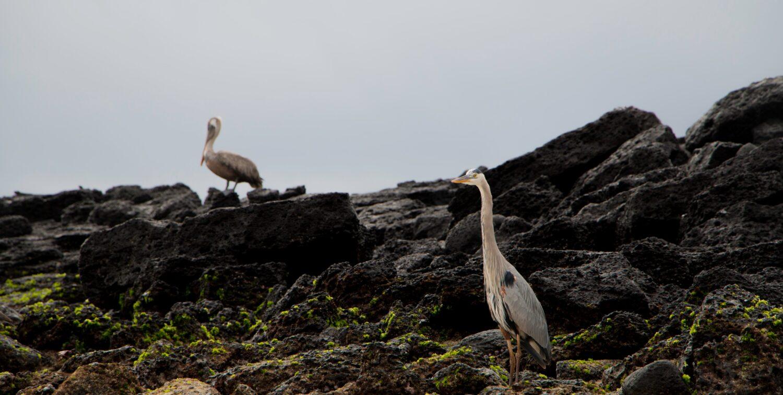 Great Blue Herons on black rocks against a grey sky