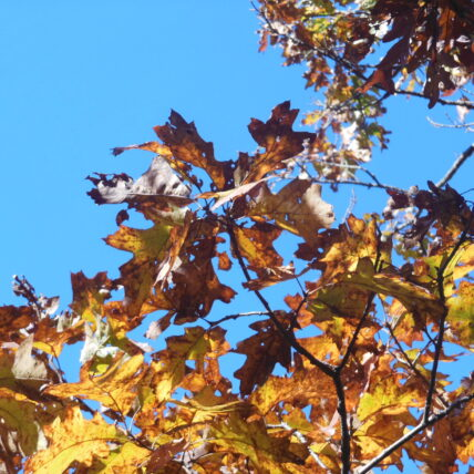 yellow leaves on tree against blue sky
