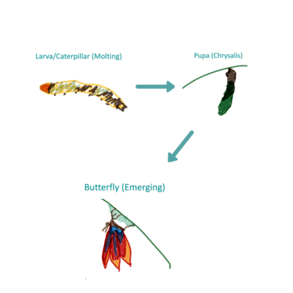 Drawing of a larva/caterpillar (molting) with an arrow leading to pupa (chrysalis), leading to butterfly (emerging)