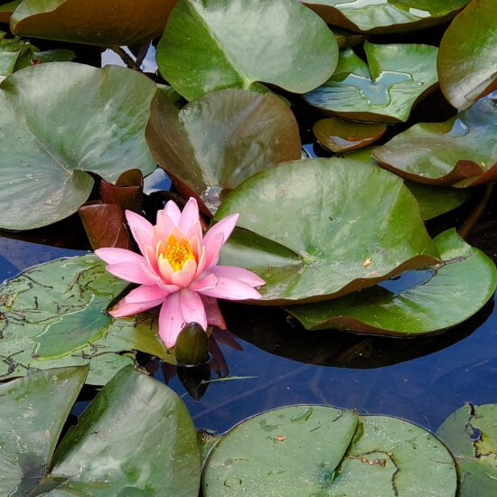 Photo of a pink lily flower and lily pads on the surface of a pond